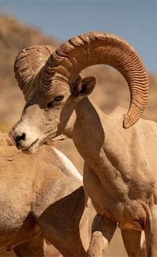 Cemex reintroduces bighorn sheep in Northwest Mexico
